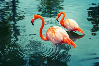 Sticker Two pink flamingos walking in the water with reflections