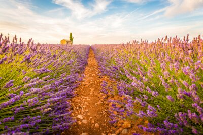 Sticker Valensole, Provence, France. Lavender field full of purple flowers