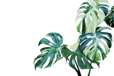 Sticker Variegated Leaves of Monstera, Split Leaf Philodendron Plant Isolated on White Background