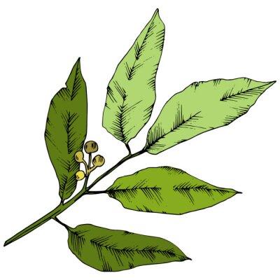 Sticker Vector green laurus leaf. Leaf plant botanical garden floral foliage. Isolated illustration element. Vector leaf for background, texture, wrapper pattern, frame or border.