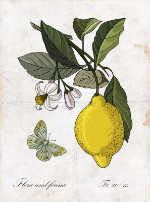 Sticker Vector hand drawing lemon branch.Botanical  illustration.