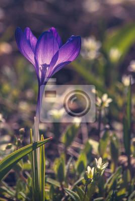 Violette crocus_1