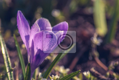 Violette crocus_2