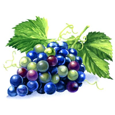 Sticker watercolor bunch of blue grapes