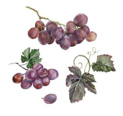 Sticker watercolor bunch of red grapes