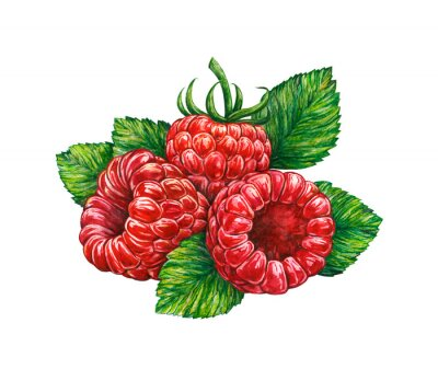 Sticker Watercolor drawing of forest raspberry