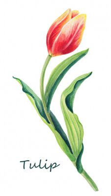Sticker Watercolor floral illustration of beautiful one tulip on the white background. Cute greeting card.Spring red,yellow,orange flower and green leaves.Greeting card for women`s day.