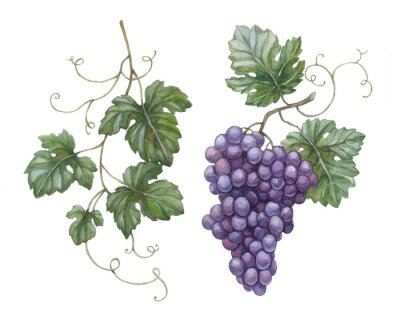 Sticker Watercolor illustration of grapes with leaves