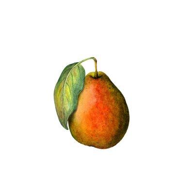 Sticker Watercolor pear