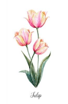 Sticker Watercolor pink-yellow tulip flower