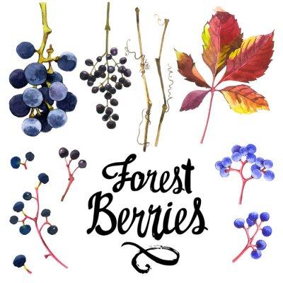 Sticker Watercolor set of wild grapes. Collection of herbarium garden.