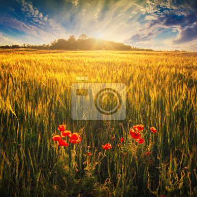 Wheat field with red poppys