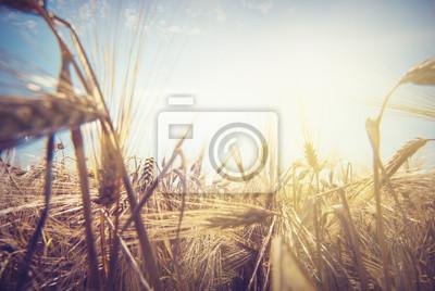 Wheat sun_1
