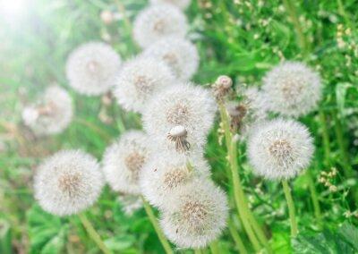 Sticker White airy dandelions