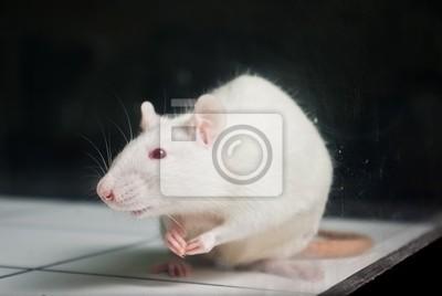 Sticker white (albino) laboratory rat on board during experiment