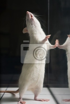 Sticker white (albino) laboratory rat standing on two feet on board duri