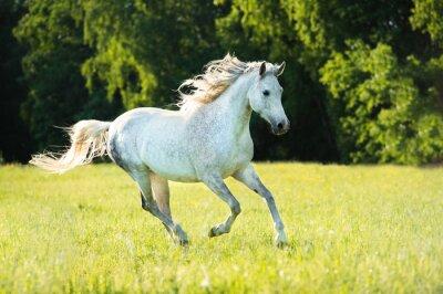 Sticker White Arabian horse runs gallop in the sunset light