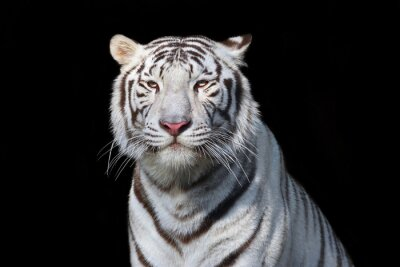 Sticker White bengal tiger on black background. The most dangerous beast shows his calm greatness. Wild beauty of a severe big cat.