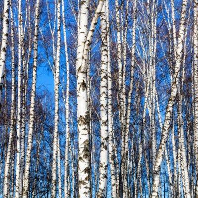 Sticker white birch trunks and blue sky