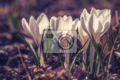 White crocus_11