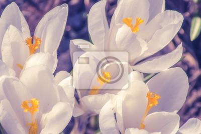 White crocus_16