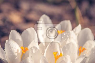 White crocus_19