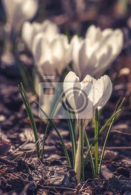 White crocus_3