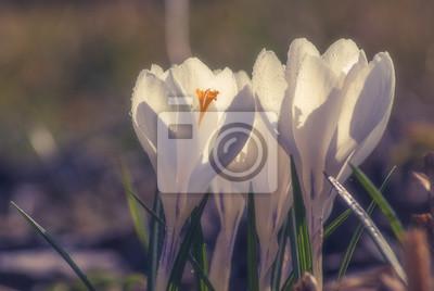 White crocus_9