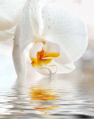 Sticker White Orchid. Closeup with reflection in water.