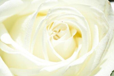 Sticker White rose