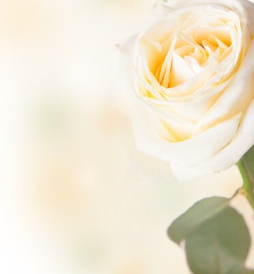 Sticker White rose with free space for text