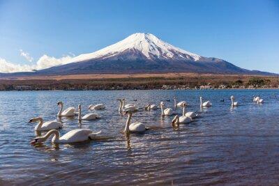 Sticker white swan swimimg in yamanaka lake , 5 lake of fuji