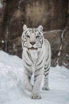 Sticker white Tiger