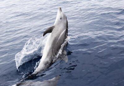 Sticker Wild Bottlenose Dolphin
