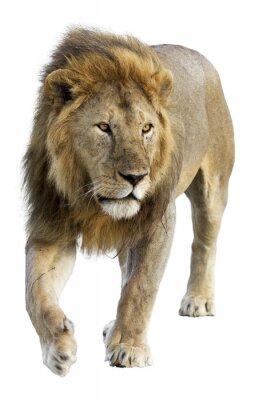Sticker Wild free roaming male lion against white background