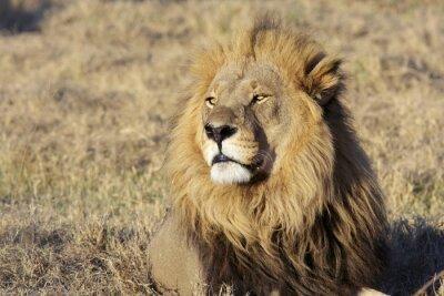Sticker Wild male lion portrait