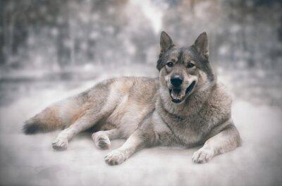 Sticker Wolf/Happy of wolf on snow background.