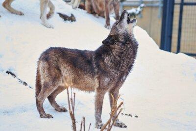 Sticker シンリンオオカミの遠吠え