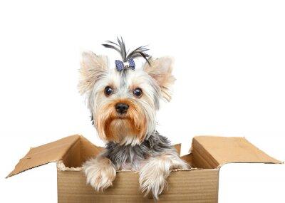 Sticker Yorkshire Terrier in cardboard box