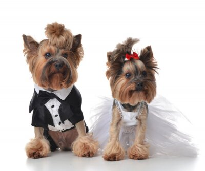 Sticker Yorkshire Terriers dressed up for wedding like broom and bride s